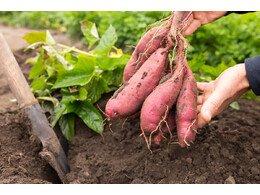 红薯如何保存时间长达一年不会烂掉