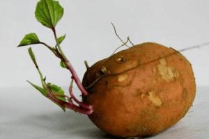 红薯发芽了还能吃吗?