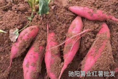 西瓜红红薯品种介绍