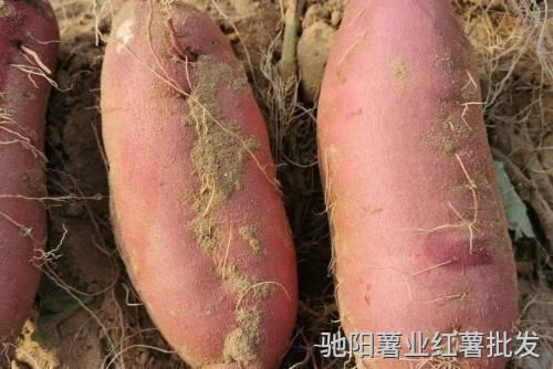 济薯25红薯品种介绍