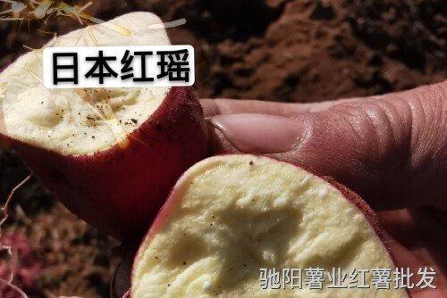 日本红瑶红薯品种介绍