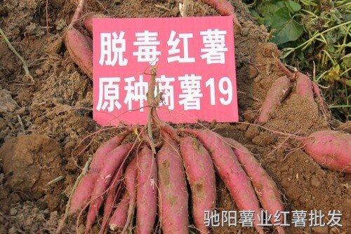商薯19红薯品种介绍