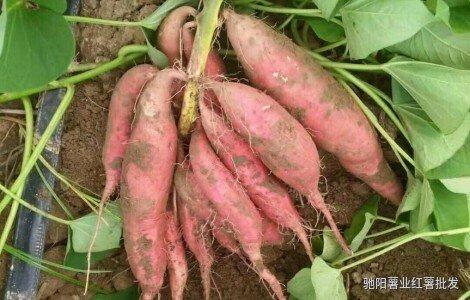 烟薯25红薯