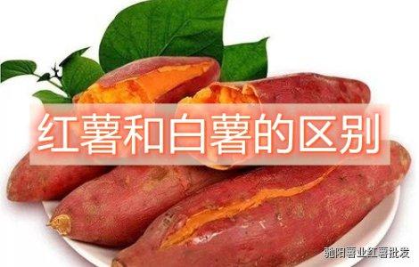 白薯和红薯的区别哪个热量低