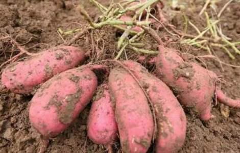 红薯的价值