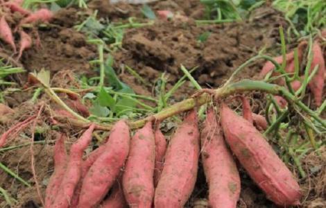烟薯25红薯亩产量大概是多少斤