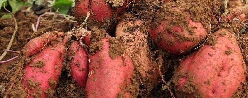 红薯产地哪个地方最多