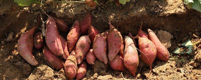 种植红薯前需要注意哪些方面