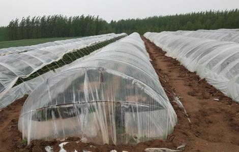 一斤红薯种能出多少棵苗