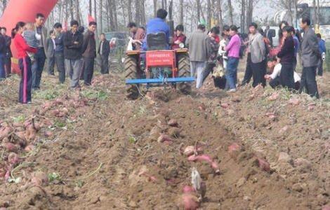 红薯为什么要起垄栽培种植