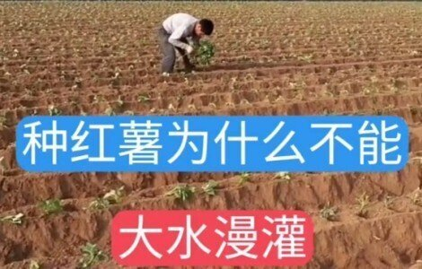 红薯种植时为什么不能大水漫灌