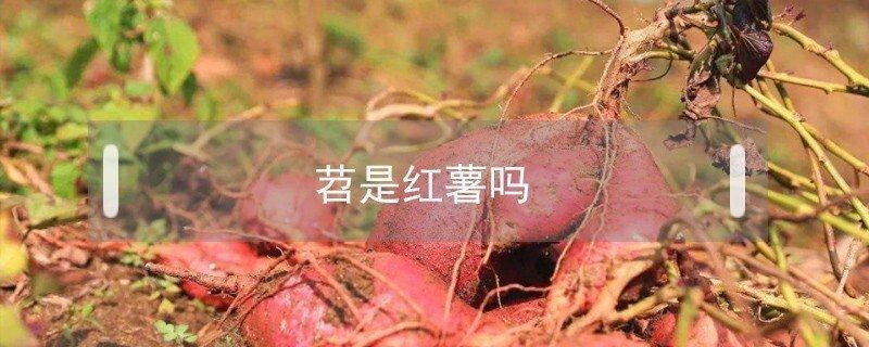苕是红薯的意思吗