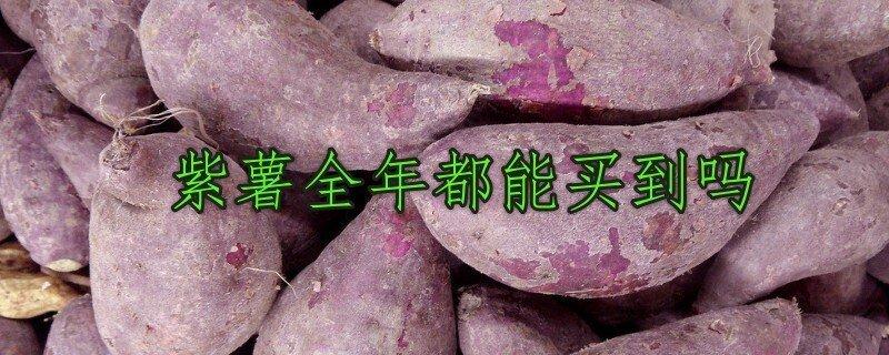 紫薯全年四季都能买到吗