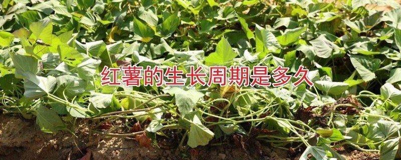 红薯的种植生长周期是多久