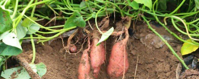 红薯浇水灌溉的时间