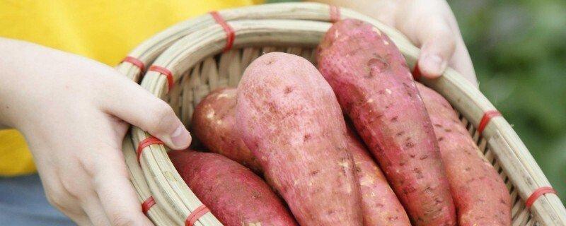 西瓜红红薯是蜜薯吗