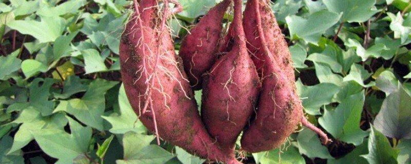 红薯常见的品种有几种