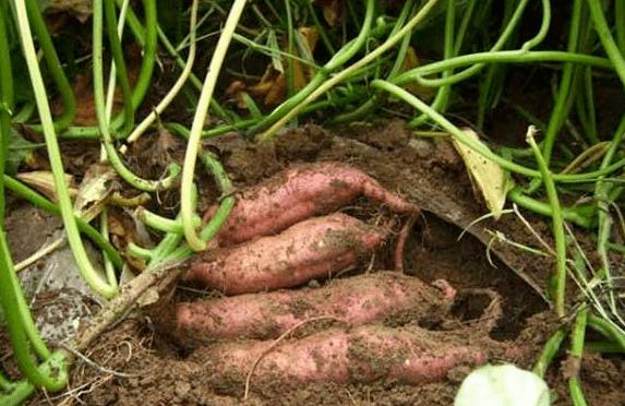 怎么0基础种植红薯方法步骤