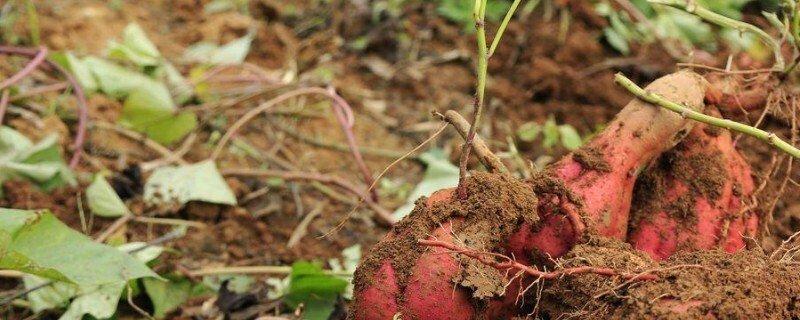 山芋和红薯是不是一个东西