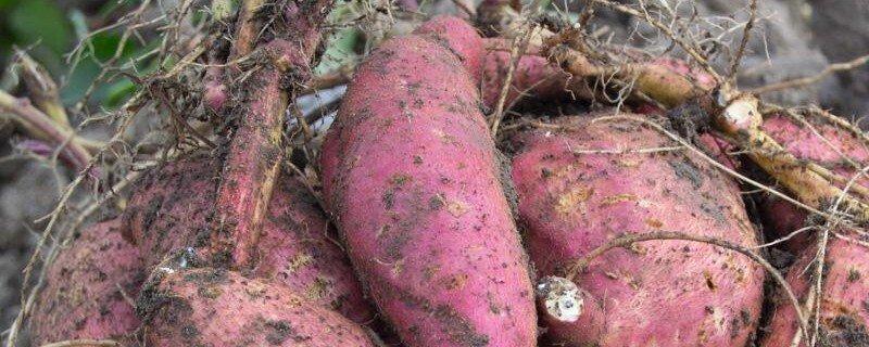 红薯为什么会发黑发霉甚至长毛腐烂