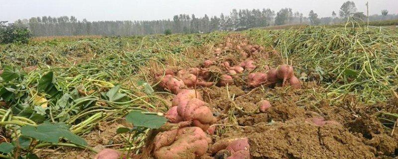 亩产三万斤红薯技术