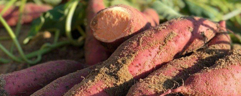 板栗薯和蜜薯有什么区别