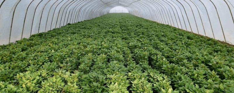 红薯苗怎么种出来
