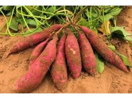 红薯控旺方法和技术有哪些
