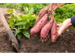 红薯苗期需要怎么去管理产量高