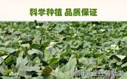 山东红薯苗批发基地