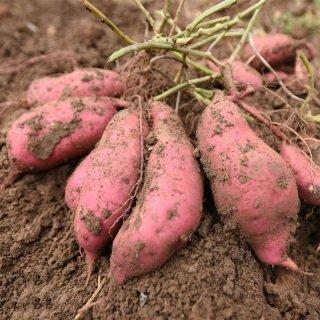 【西瓜红】红薯批发