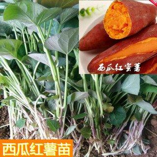 【西瓜红】红薯苗批发