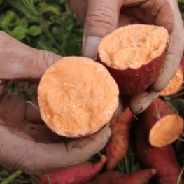 【普薯32号】红薯批发价格