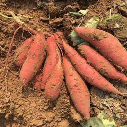 【龙薯九号】红薯价格