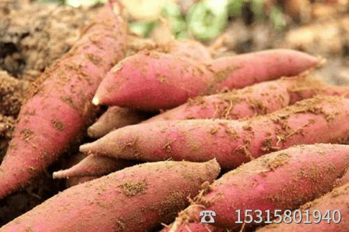 普薯32号批发网