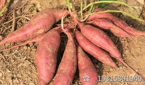 济薯26号批发网