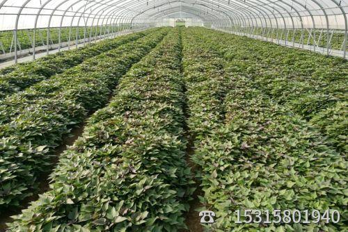 龙薯九号红薯苗批发供应商