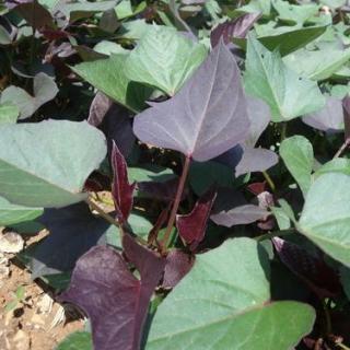 【紫薯】红薯苗批发