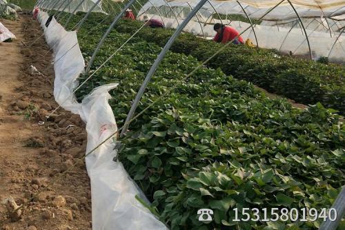 济薯26种苗多少钱一棵