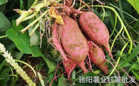 心香红薯价格每斤多少钱