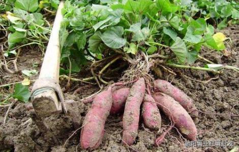 烟薯25生产基地