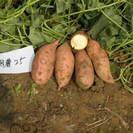 烟薯25生产基地山东夏津