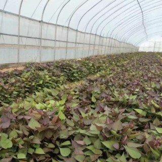 2021年地瓜苗价格多少钱一棵