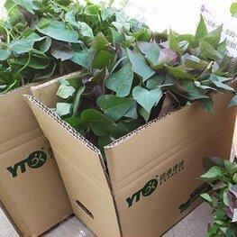 烟薯25蜜薯苗新品种地瓜秧苗