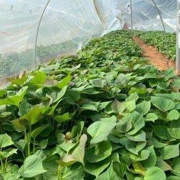 西瓜红红薯苗在哪里买