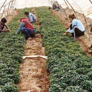 哈密地瓜红薯苗哪里买