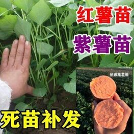 紫薯的苗哪里能买到