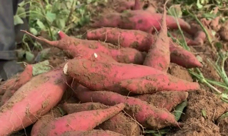 六鳌红薯苗在哪里买