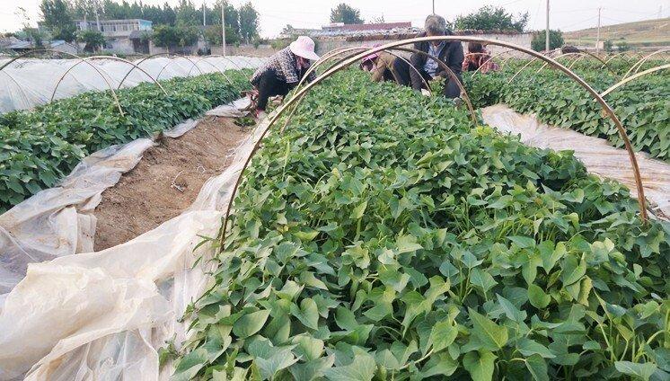 烟薯25红薯苗批发基地
