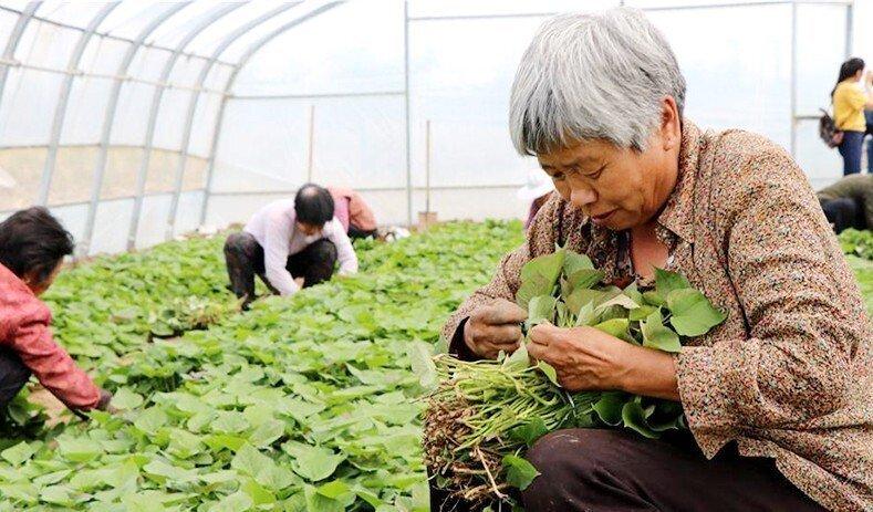 西瓜红红薯苗批发基地
